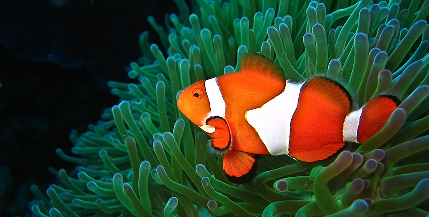 A clownfish at Apo Reef (Photo: Tommy Schultz)