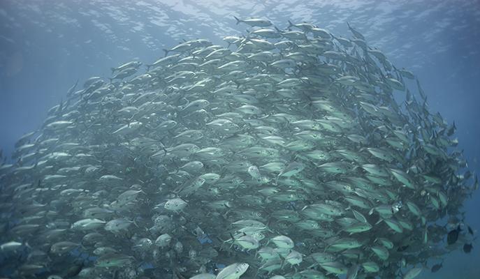 A school of bigeye in the waters of Tubbataha