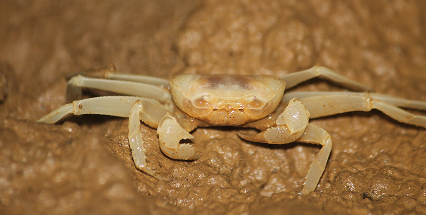 A blind mud crab scuttling across a cave floor